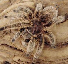 Rose hair tarantula http://urbansafarirescue.ca/Rose%20Hair%20Tarantulas.jpg
