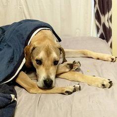 Dog or hermit crab? TBD. #Gatsby #greatdane #puppy #leggy #hermitcrab #servicedog #tiredpuppy