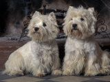 Two West Highland Terriers