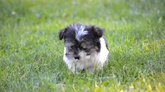 Havanese puppies for sale! Lancaster Puppies has Havanese puppies. We pair Havanese breeders with great folks like you. Get your little puppy today. Havanese Puppies For Sale, Shitzu Puppies, Havanese Dogs, Teacup Puppies, Puppys For Sale, Havanese Breeders, Cavapoo, Cute Little Puppies, Cute Dogs And Puppies