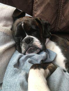 Sleeping Boxer Puppy #boxerpuppy #BoxerDog