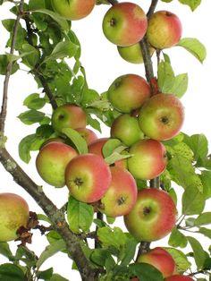 Zwiebelapfel , seltene Apfelsorte mit schönen Früchten, Apfelbaum            #8