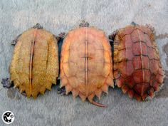 three leaf turtles, showing off the color variation in the species Tortoise House, Tortoise Turtle, Beautiful Creatures, Animals Beautiful, Baby Turtles, Sea Turtles, Turtle Time, Turtle Crafts, Turtle Swimming