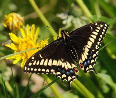 5959714-sud-papillon-rare-amiral-blanc-limenitis-reducta-en-europe