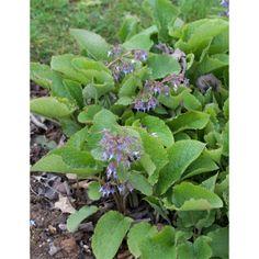 Trachystemon orientalis // USDA z 6; ziemciete problemātiskām vietam, t.sk., sausā ēnā; zied: marts-aprīlis (agri pavasarī, pirms ziedēšanas var apgriezt pagājušā gada lapas); pēcāk - robustas gana dekoratīvas lapas (karstā laikā lapas mēdz palikt šlauganas, bet nakts laikā tās atkal 'atgūstas', bet, jebkurā gadījumā - labāk nestādīt pavisam priekšplānā); mēdz pašizsēties