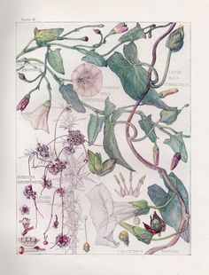 Convolvulus- Wild Flower Botanical Print by Isabel Adams - Antique Print
