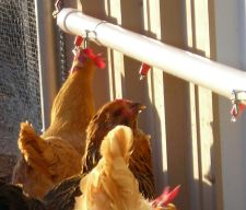 Good idea for chicken waterer.  Going to order some of these water nipples.