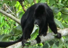 Take a trip down Monkey River with Cayequest Tours and get a good look at Belize's famous howler monkeys!