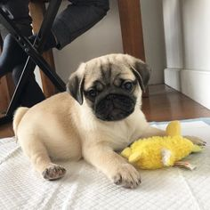 Cheap Pug Puppies for sale Cute Puppies For Sale, Pugs For Sale, Pug Puppies, Dog Runs, Outdoor Dog, Pug Love, Dog Care, Best Dogs, Boston Terrier