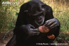 Chimpanzee mother grooming baby