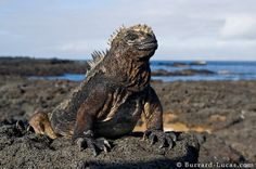 Marine iguana - on of the species that are endemic to the Galápagos. It can stay under water up til an hour without surfacing!