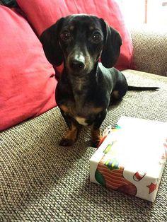 my present!  #doxie #cute #dachshund