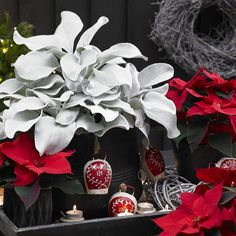 Senecio Angel Wings - Excellent Holiday Plant for the season bringing outdoors in the spring- National Garden Bureau Christmas Plants, Christmas Colors, Angel Christmas Tree Topper, Christmas Angels, Red Candy, Container Gardening, Indoor Gardening, Holly Leaf, Red Berries