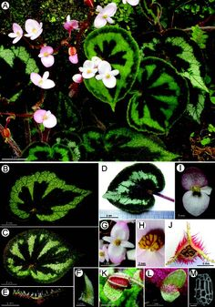 Begonia picturata (sect. Coelocentrum, Begoniaceae), a new species from limestone areas in Guangxi, China