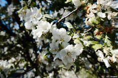 #omenankukka #omenapuu #kukka #kesä #valokuva #valokuvaus