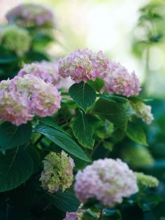 Hydrangea  A shrub of incomparable beauty, hydrangeas produce large clusters of pink, blue, or white flowers in early summer. They're great for cutting, if you can bear to take them out of your garden.