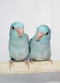 Parrotlet Babies: Available Babies