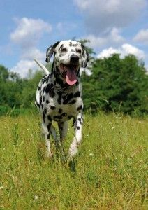 Dalmatian dog running on the lawn Poster Dalmatian Dogs, Animals, Lawn, Training, Exercise, Friends, Blog, Products, Health Magazine