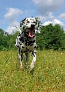 Dalmatian dog running on the lawn Poster Dalmatian Dogs, Animals, Training, Exercise, Friends, Blog, Dalmatian, Taurus, Pet Dogs