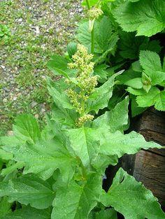 """Guter Heinrich, auch """"Wilder Spinat"""" genannt, ist eine alte Kulturpflanze, die nicht nur gut schmeckt, sondern auch viele Heileigenschaften besitzt."""