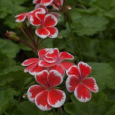 Pelargonium x hortorum  Geranium 'Mr. Wren'