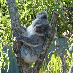 Koala bears of Australia Koala Marsupial, Quokka, Lemur, Beautiful Creatures, Animals Beautiful, Cute Animals, Wild Animals, Nature Pictures, Animal Pictures