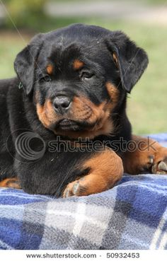 Top Chunky Chubby Adorable Dog - 2cc0f2dda2ac70bb11392e7c6142460b--rottweiler-pups-rottweiler-training  Best Photo Reference_96336  .jpg