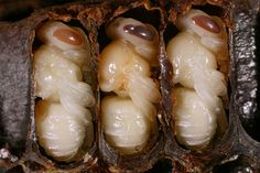 x x x ~ 'A week after their combs were capped, well fed larvae have started pupating into fully formed nymphs.  Twelve days after the beginning of this rest, a young bee is born.'