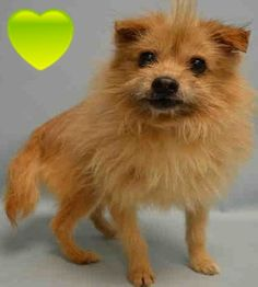 SAFE❤️❤️❤️❤️❤️❤️❤️ 3/17/16 - PLEASE LOVE AND KEEP THIS PRECIOUS BOY FOREVER❤️ THANK YOU❤️RETURNED 3/14/16 PETHEALTH!! Manhattan Center LEO – A1066591 MALE, TAN, POMERANIAN MIX, 5 yrs OWNER SUR – AVAILABLE, NO HOLD Reason LLORDPRIVA Intake condition UNSPECIFIE Intake Date 03/03/2016 http://nycdogs.urgentpodr.org/leo-a1066591/