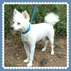 POOPOO is an adoptable Spitz Dog in Marietta, GA. PooPoo is a really sweet, 10 year old, 30 pound Spitz. He knows how to sit but he is still a little shy. It is so sad to see seniors left at the she...