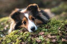 #sheltie #shelties #shetlandsheepdog