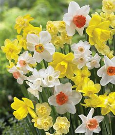 """Daffodils 100 Days. Grow consistent flowering daffodils during the entire daffodil season."""