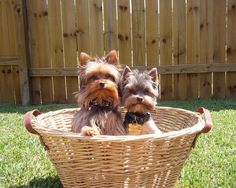 Yorkshire Terriers images The beautiful Yorkie HD wallpaper and . Yorkies, Biewer Yorkie, Yorkie Puppy, Silky Terrier, Pug, Chihuahua, Yorkshire Terrier Puppies, Cairn Terrier, Puppy Pictures