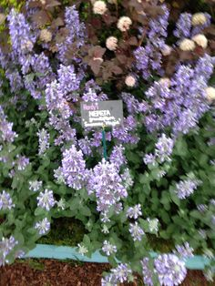 nepeta at Chelsea
