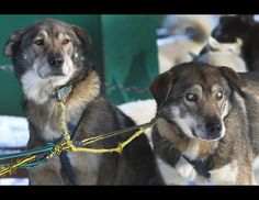 Sled dogs Poncho, left, and his blind brother Gonzo are hooked up for a run at the Muddy Paw Sled Dog Kennel, in Jefferson, N.H., Thursday Jan. 17, 2013. Poncho has taken to helping his blind brother on regular runs. (Jim Cole/AP Photo)