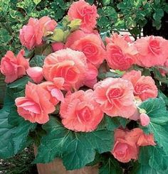 Begonias -Non Stops...one of all time favorites ...will do well in sun or shade...just don't water in the hot sun...