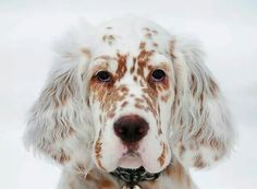 I may need to get another English Setter pup.  You need one in every color, right??