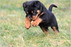 "Receive excellent recommendations on ""rottweiler puppies"". They are accessible for you on our website. Rottweiler Love, Rottweiler Puppies, Beagle, Cute Puppies, Cute Dogs, Dogs And Puppies, Doggies, Chihuahua Dogs, Toy Dogs"