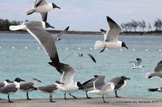 gaivotas em Junkanoo Beach - Nassau