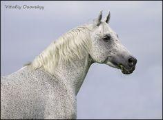 Arab - photos - equestrian.ru