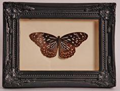 Opgezette vlinder in oude lijst  - V0014