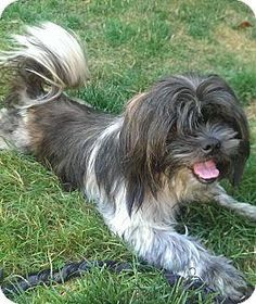 Meet Freddie, a Petfinder adoptable Shih Tzu Dog | Auburn, WA | We have so many new great dogs that we didn't have time to get descriptions written for all of...