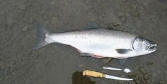Remembering the five species of Pacific salmon is as easy as counting the…
