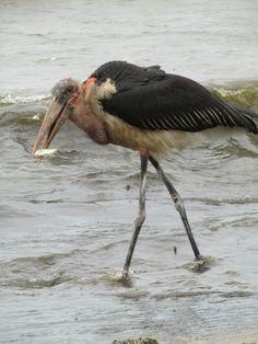 Large Marabou stork at Lake Victoria