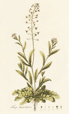 -Shepherd's Purse is one of the most important drugplants of the family Cruciferae.  When dried and infused, it yields a tea which is still considered by herbalists one of the best specifics for stopping haemorrhages of all kinds - of the stomach, the lungs, or the uterus, and more especially bleeding from the kidneys.