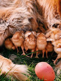 Meet the Chicks - Classy Girls Wear Pearls Classy Girl, Pet Chickens, Heart Melting, Girls Wear, Toddler Activities, Cute Animals, Farmhouse, Meet
