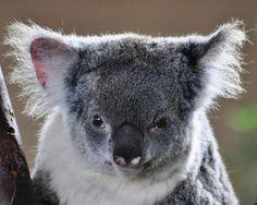 Koala by pamelainob (Pamela Schreckengost) on Flickr.