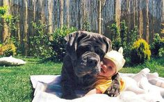 """Neapolitan Mastiff.  They are called """"gentle giants"""" for a reason!"""