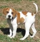 Bogle - boxer and beagle mix