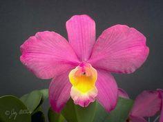 Cattleya Calypso